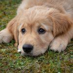Karmy dla szczeniąt, młodych i dorosłych psów